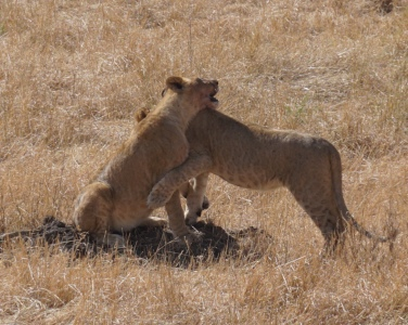 We watched these two cubs and their mother for several hours, as they played, killed, and rested. Since nature doesn't pose for you, all you can do is observe.