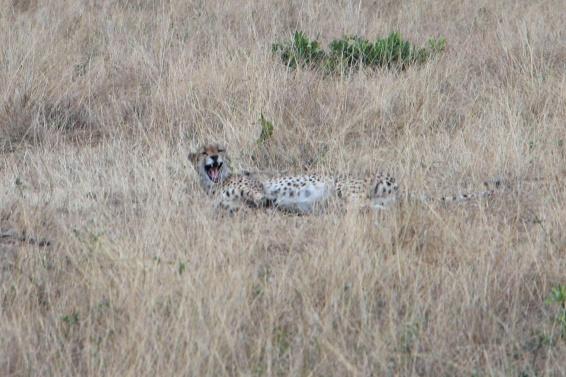 Hello there, Cheetah.